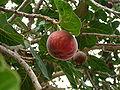 Ficus sycomorus 0001.jpg