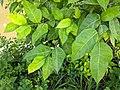 Ficus tinctoriai 46.jpg