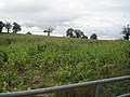Field of Maize - geograph.org.uk - 1514131.jpg