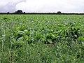 Field of beet - geograph.org.uk - 31767.jpg