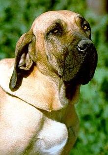 Fila Brasileiro (dog).jpg