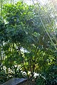 Filicium decipiens - Naples Botanical Garden - Naples, Florida - DSC09868.jpg