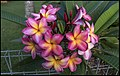 First of April 2018 and the Frangipani battles on (41143222941).jpg
