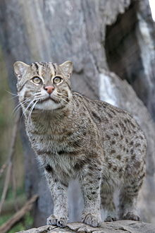 Fishing Cat (Prionailurus viverrinus) 2.jpg