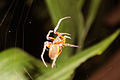 Flame-bellied spider.JPG