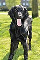 Flatcoated retriever bitch.jpg