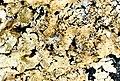 Flavoparmelia baltimorensis-7.jpg