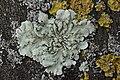 Flavoparmelia soredians (39999084464).jpg