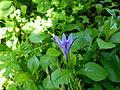 Fleur du jardin Albert Kahn.JPG