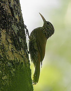 Flickr - Rainbirder - Streak-headed Woodcreeper (Lepidocolaptes souleyetii).jpg