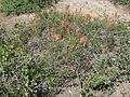 Flickr - brewbooks - Castilleja linariifolia habitat.jpg