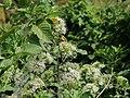 Flora from Savandurga IMG 9517.jpg