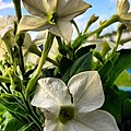 Flower In White (41307108).jpeg