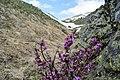 Flowers of Jablanica Mountain, Struga 11.jpg