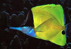 Gelber Masken-Pinzettfisch (Forcipiger flavissimus)