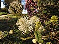 Fothergilla gardenii Flowers and Foliage.jpg