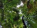 Fougères arborescentes, Basse-Terre, Guadeloupe.jpg
