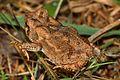 Fowler's Toad - Bubo fowleri, Merrimac Farm WMA, Nokesville, Virginia.jpg