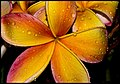 Frangapani Apricot Home-3+ (2240062637).jpg