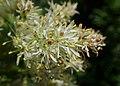 Fraxinus ornus kz05.jpg