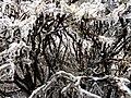 Freezing Branches (55803476).jpeg