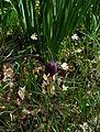 Fritillaria meleagris - Flickr - peganum (6).jpg