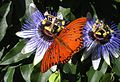 Fritillary feeding on passion flower.jpg