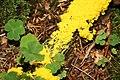 Physarum polycephalum im Wald südwestlich des Parkplatzes Irenkreuz, Landkreis Rhön-Grabfeld V.jpg