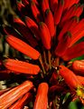 G20080210-1429--Aloe arborescens (12275236754).jpg
