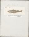 Gadus merlangus - 1817-1841 - Print - Iconographia Zoologica - Special Collections University of Amsterdam - UBA01 IZ14000095.tif