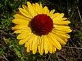 Gaillardia aristata (3751076406).jpg