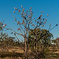 Galah vicinity of pond near Burke River Boulia Queensland P1030814.jpg
