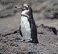 Galapagos Penguin (46860487615).jpg