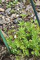 Galium odoratum in Jardin Botanique de l'Aubrac.jpg