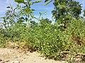Galium spurium var. echinospermum sl42.jpg