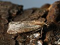 Galleria mellonella - Honeycomb moth - Огнёвка восковая (26328424407).jpg