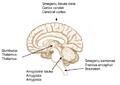 Galvos smegenys.png