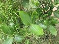 Gardenia gummifera 011.JPG