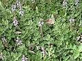 Gardenology.org-IMG 5143 hunt0904.jpg