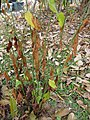 Gardenology.org-IMG 7292 qsbg11mar.jpg