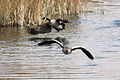 Geese - Fowlmere March 2010 (4433213586).jpg