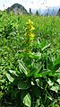 Gelber Enzian (Gentiana lutea) 03.jpg