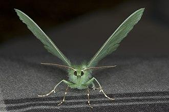 Large emerald - Image: Geometra papilionaria, Lodz(Poland)04(js)