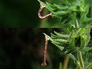 A geometrid caterpillar or inchworm