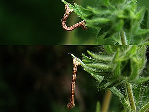 Caterpillar - A geometrid caterpillar or inchworm