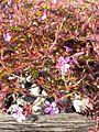 Geranium robertianum s. str. sl2.jpg