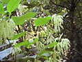 GiantKnotweed053.jpg