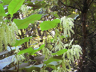 Reynoutria sachalinensis - Image: Giant Knotweed 053