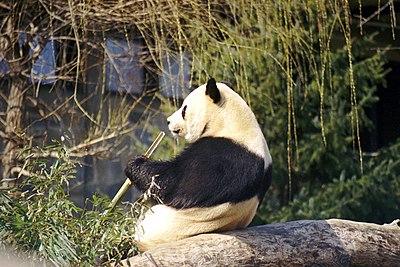 Giant Panda 2004-03-1.jpeg