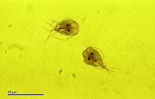 Giardia intestinalis (259 17)